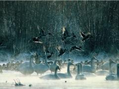 白鳥の画像